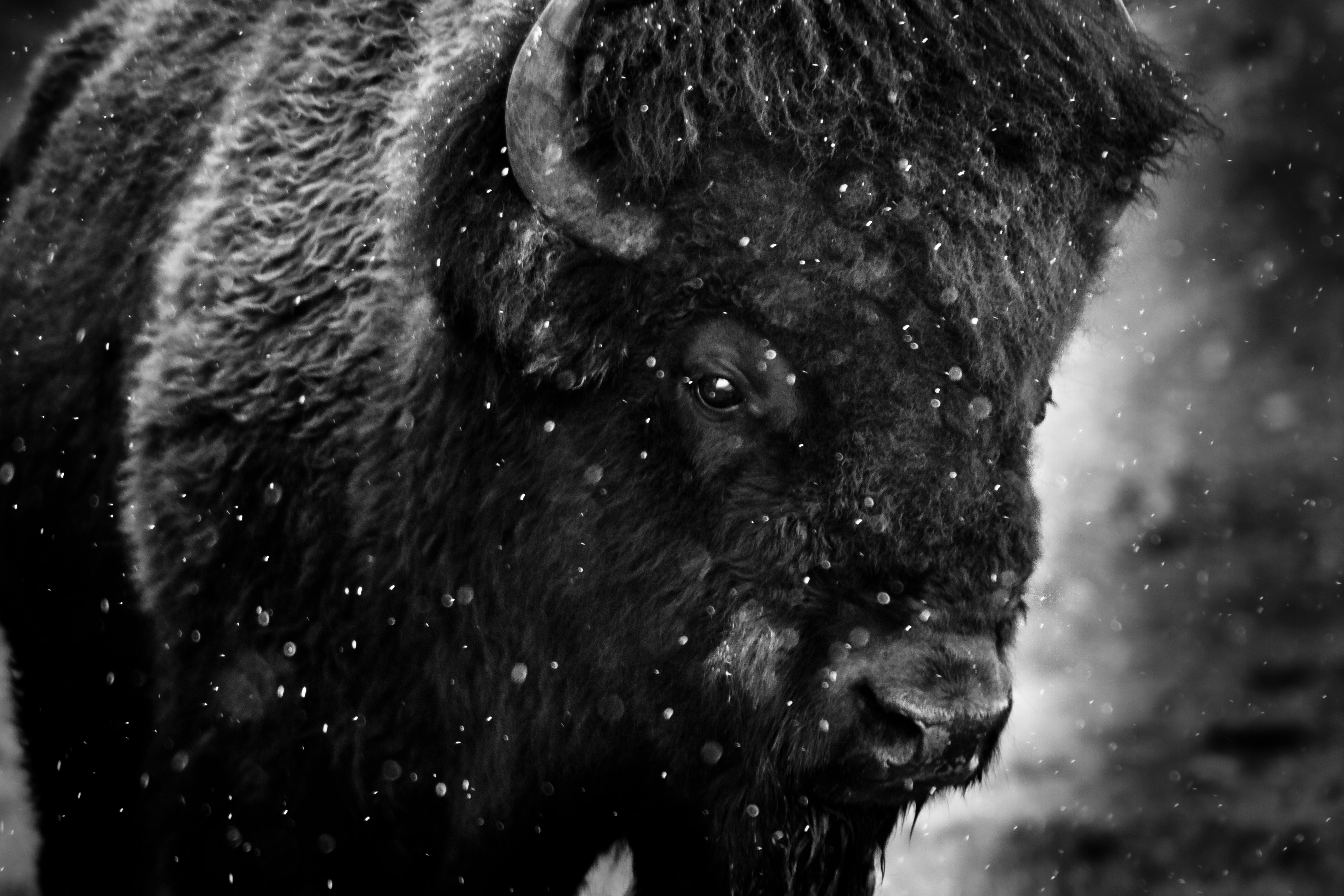 4: Bison in Snow